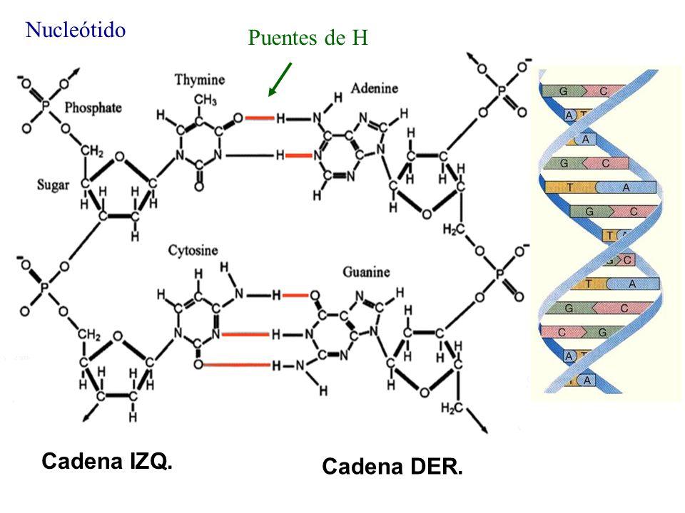 DNA Nucleótido Puentes de H Cadena IZQ. Cadena DER.