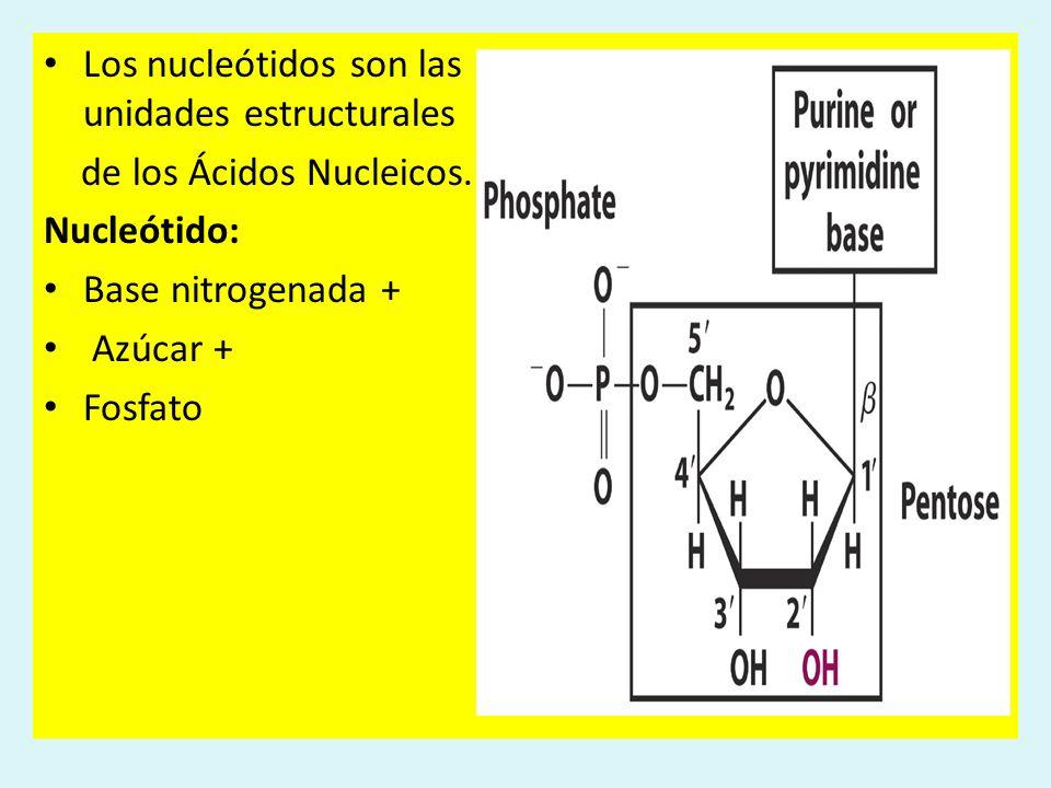 Los nucleótidos son las unidades estructurales