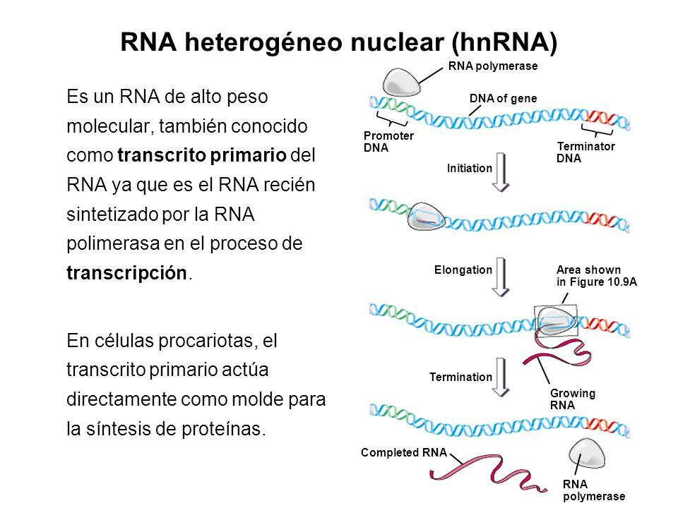 RNA heterogéneo nuclear (hnRNA)