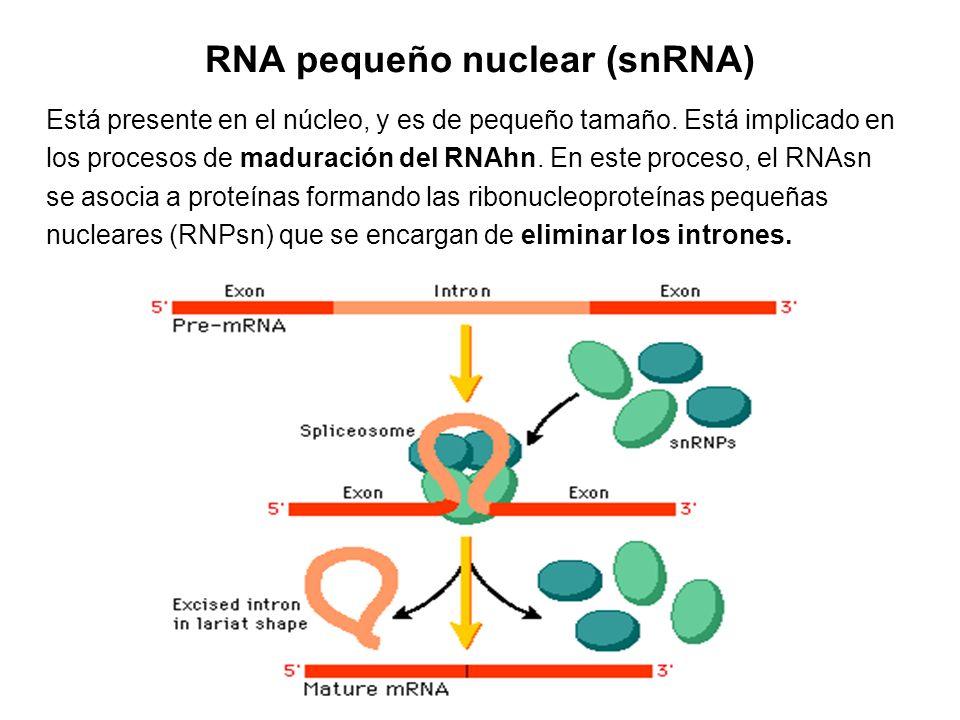 RNA pequeño nuclear (snRNA)