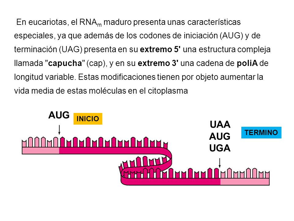En eucariotas, el RNAm maduro presenta unas características especiales, ya que además de los codones de iniciación (AUG) y de terminación (UAG) presenta en su extremo 5 una estructura compleja llamada capucha (cap), y en su extremo 3 una cadena de poliA de longitud variable. Estas modificaciones tienen por objeto aumentar la vida media de estas moléculas en el citoplasma