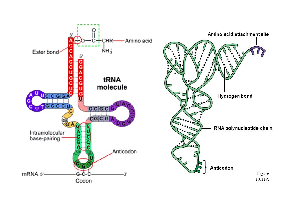 Figure 10.11A Hydrogen bond Amino acid attachment site RNA polynucleotide chain Anticodon