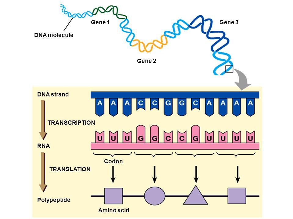 Gene 1 Gene 3. DNA molecule. Gene 2. DNA strand. TRANSCRIPTION. RNA. Codon. TRANSLATION. Polypeptide.