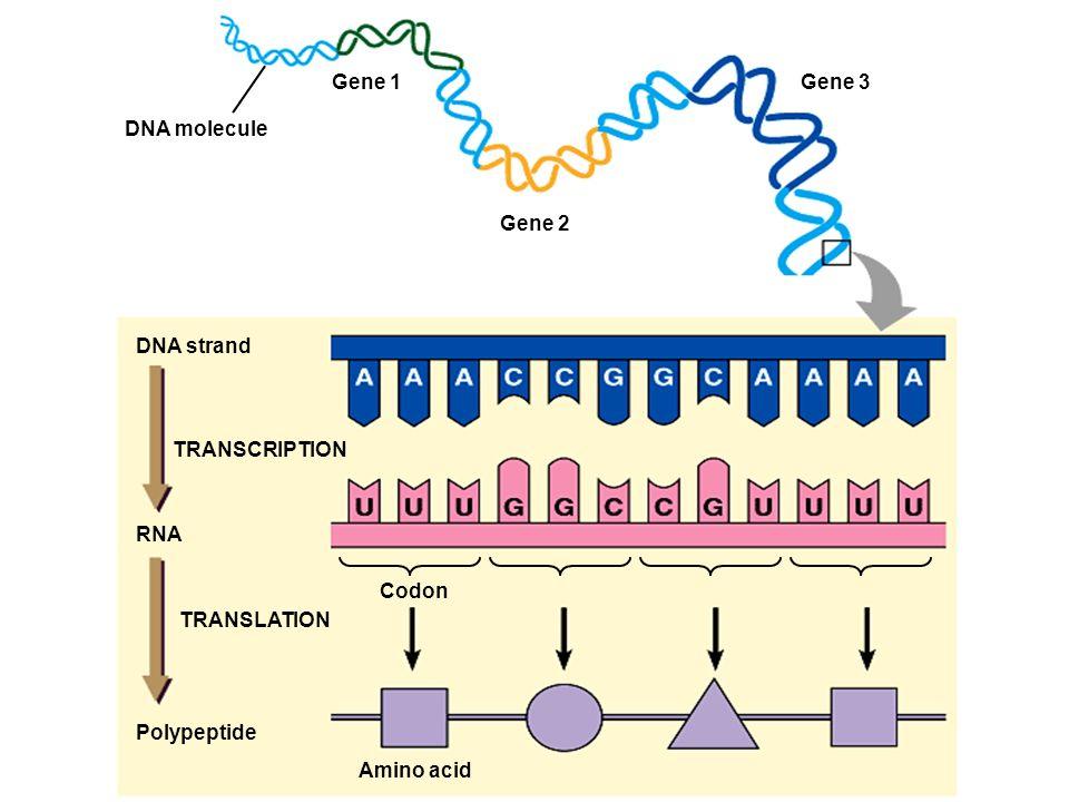 Gene 1Gene 3. DNA molecule. Gene 2. DNA strand. TRANSCRIPTION. RNA. Codon. TRANSLATION. Polypeptide.
