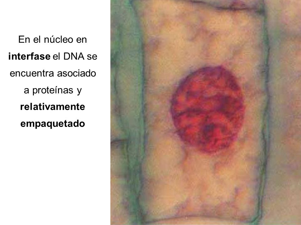 En el núcleo en interfase el DNA se encuentra asociado a proteínas y relativamente empaquetado