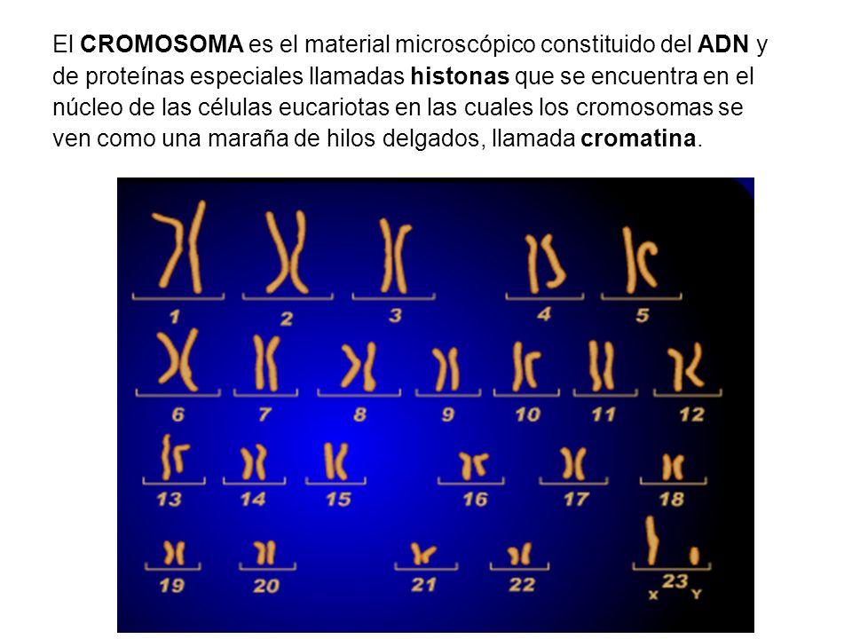 El CROMOSOMA es el material microscópico constituido del ADN y de proteínas especiales llamadas histonas que se encuentra en el núcleo de las células eucariotas en las cuales los cromosomas se ven como una maraña de hilos delgados, llamada cromatina.