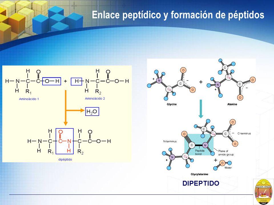 Enlace peptídico y formación de péptidos