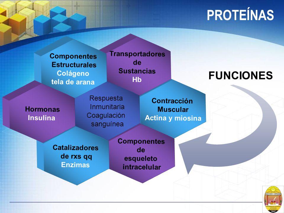 PROTEÍNAS FUNCIONES Contracción Muscular Actina y miosina