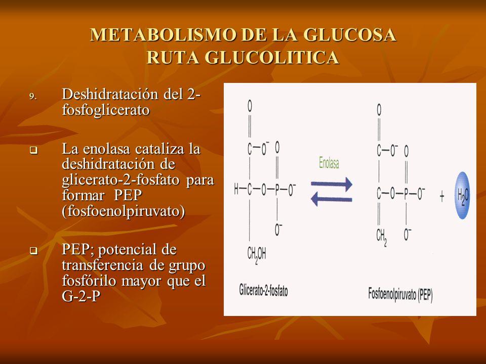 METABOLISMO DE LA GLUCOSA RUTA GLUCOLITICA