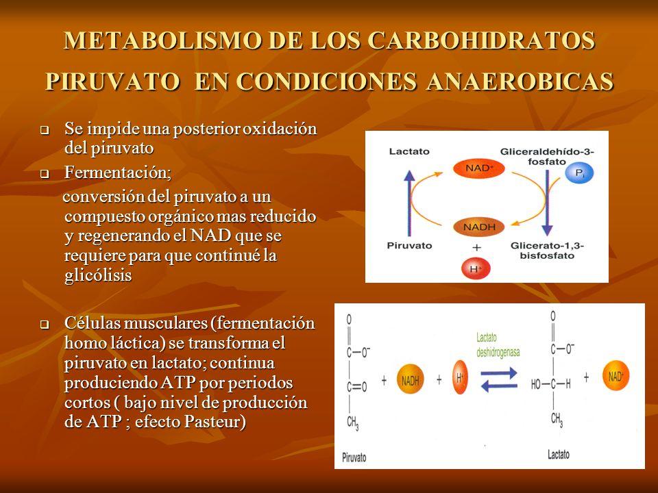 METABOLISMO DE LOS CARBOHIDRATOS PIRUVATO EN CONDICIONES ANAEROBICAS
