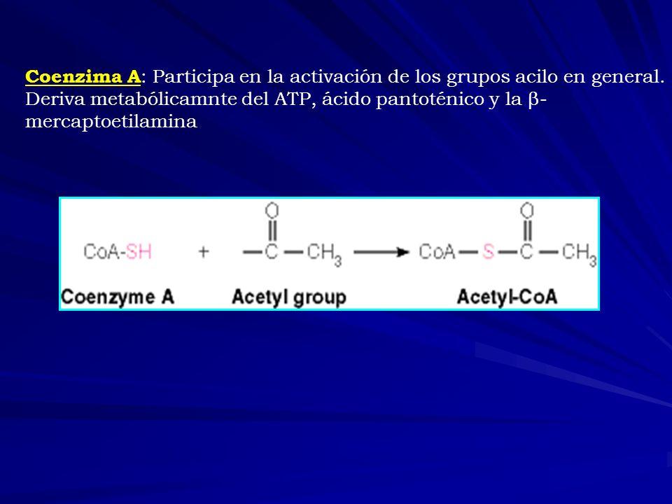 Coenzima A: Participa en la activación de los grupos acilo en general