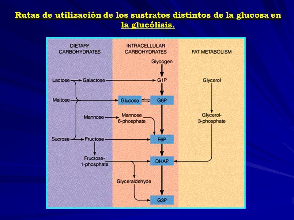 Rutas de utilización de los sustratos distintos de la glucosa en la glucólisis.