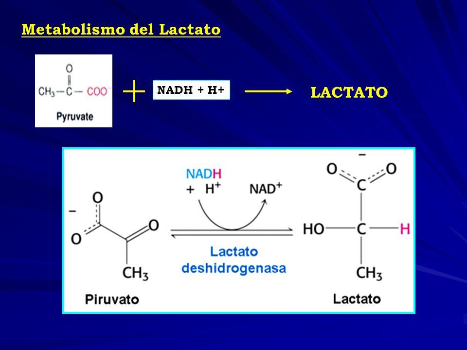 Metabolismo del Lactato