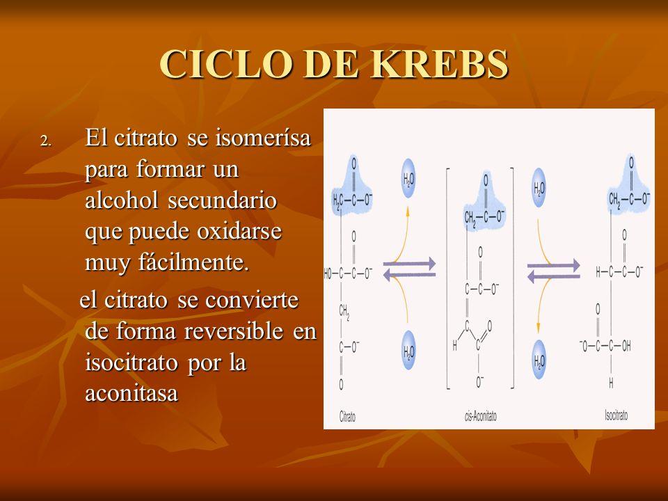 CICLO DE KREBS El citrato se isomerísa para formar un alcohol secundario que puede oxidarse muy fácilmente.