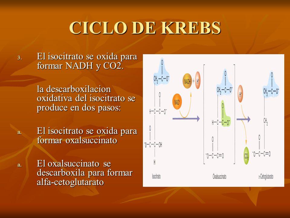 CICLO DE KREBS El isocitrato se oxida para formar NADH y CO2.