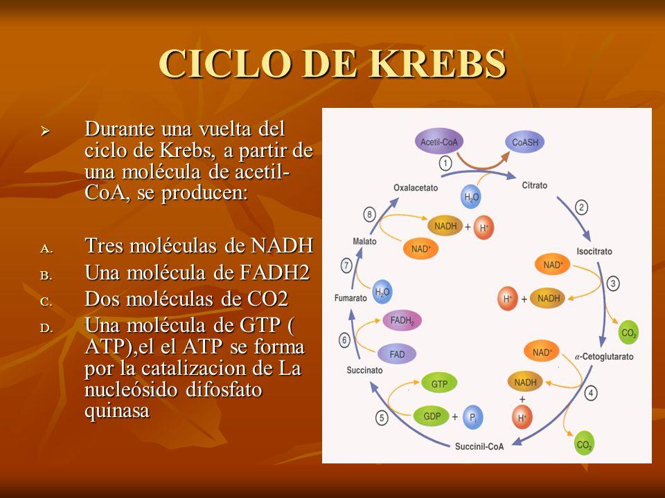 CICLO DE KREBS Durante una vuelta del ciclo de Krebs, a partir de una molécula de acetil-CoA, se producen: