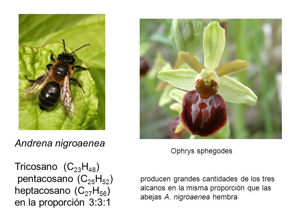 Andrena nigroaenea Tricosano (C23H48) pentacosano (C25H52)