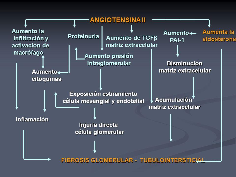 Exposición estiramiento célula mesangial y endotelial