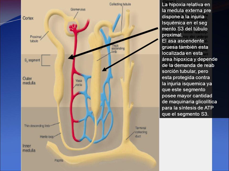 La hipoxia relativa en la medula externa pre. dispone a la injuria. Isquémica en el seg. mento S3 del túbulo.