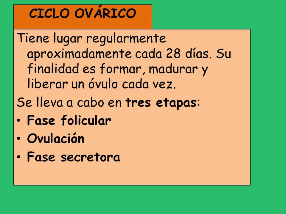 CICLO OVÁRICO Tiene lugar regularmente aproximadamente cada 28 días. Su finalidad es formar, madurar y liberar un óvulo cada vez.