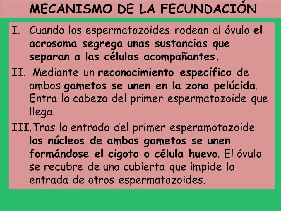 MECANISMO DE LA FECUNDACIÓN