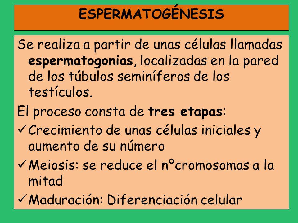 ESPERMATOGÉNESIS Se realiza a partir de unas células llamadas espermatogonias, localizadas en la pared de los túbulos seminíferos de los testículos.