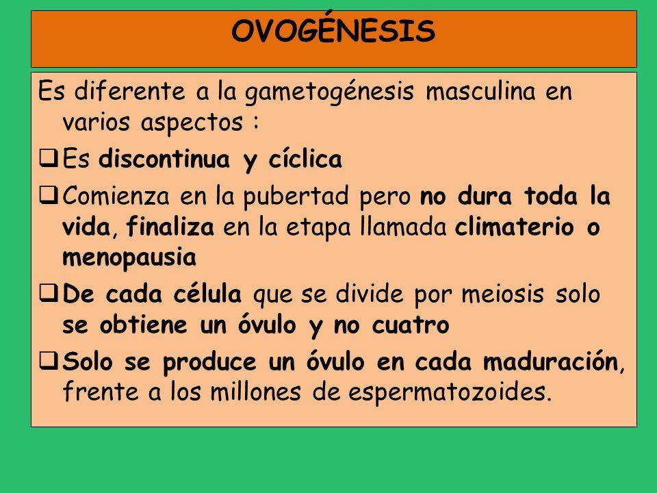 OVOGÉNESIS Es diferente a la gametogénesis masculina en varios aspectos : Es discontinua y cíclica.