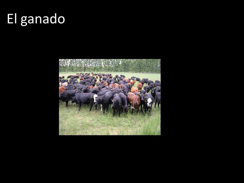 El ganado
