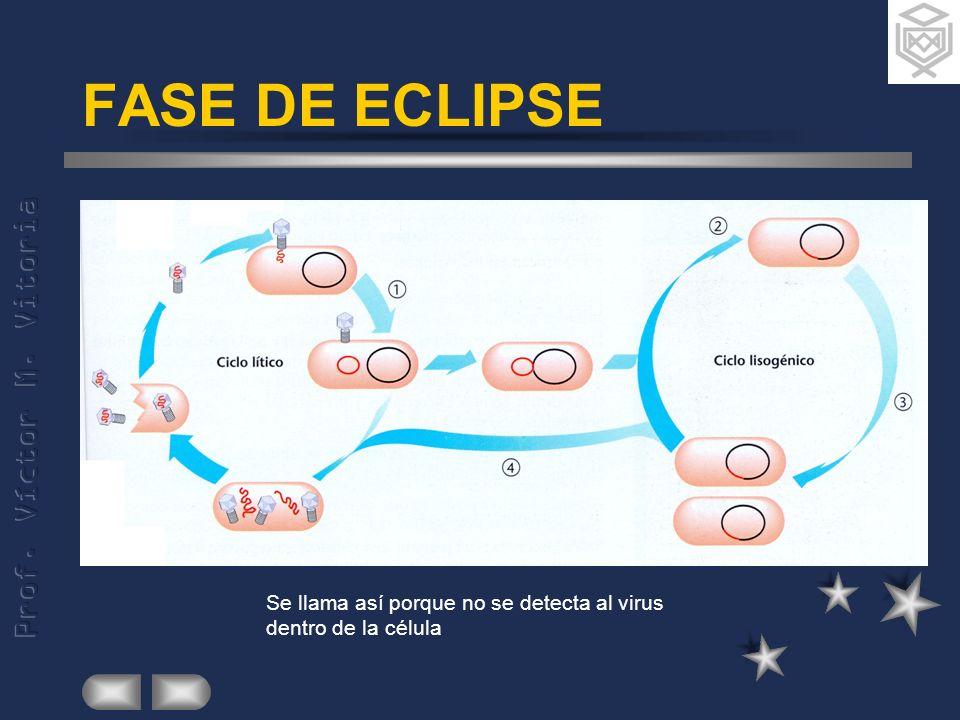 FASE DE ECLIPSE Se llama así porque no se detecta al virus dentro de la célula