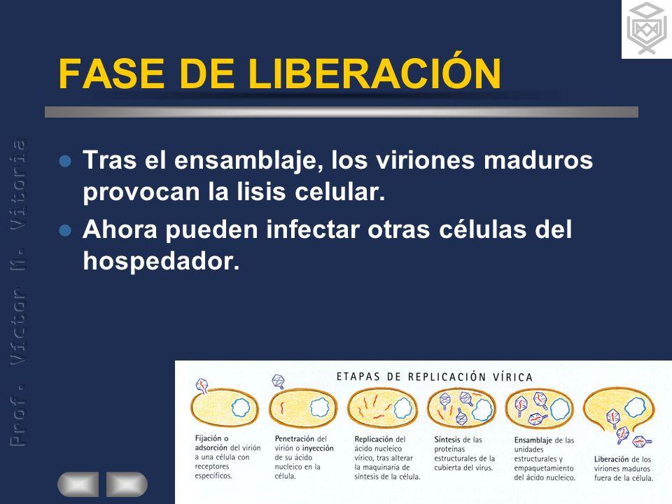 FASE DE LIBERACIÓN Tras el ensamblaje, los viriones maduros provocan la lisis celular.