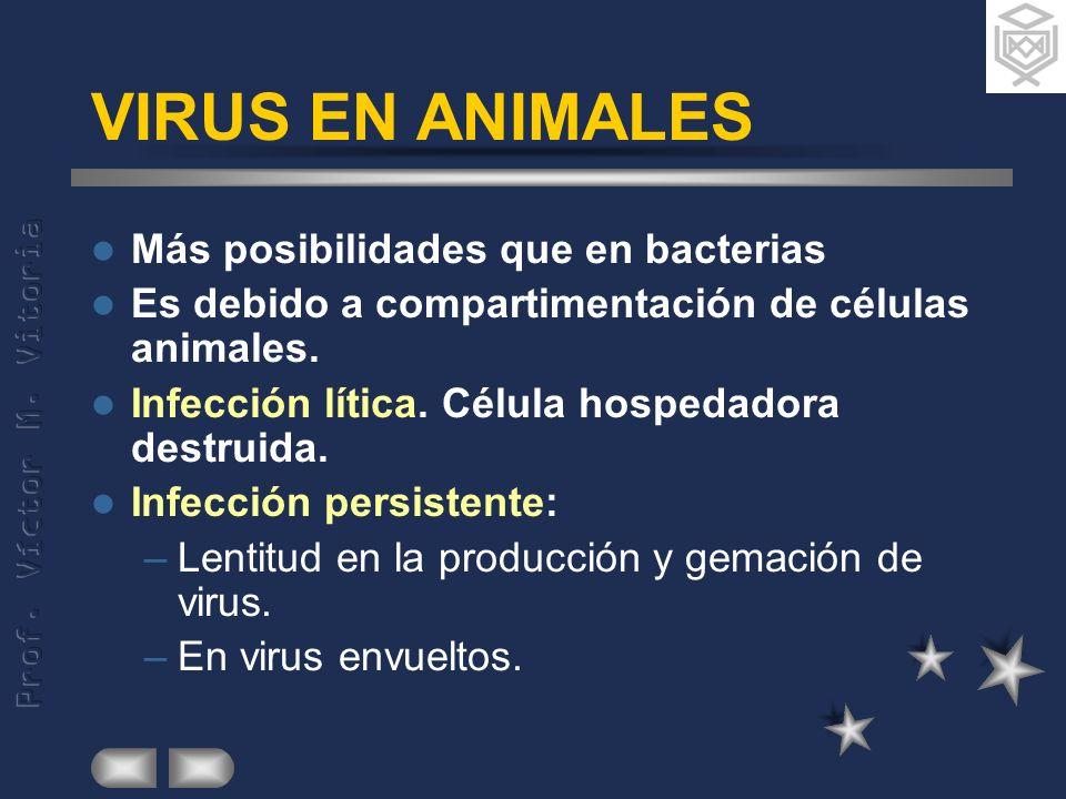 VIRUS EN ANIMALES Más posibilidades que en bacterias
