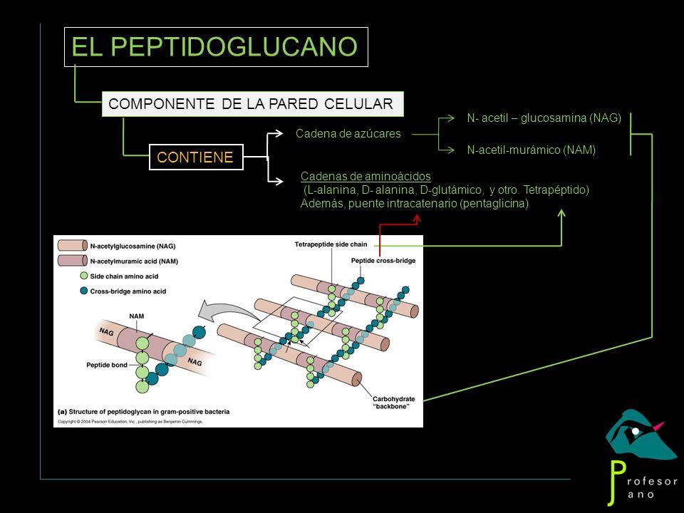 EL PEPTIDOGLUCANO COMPONENTE DE LA PARED CELULAR CONTIENE