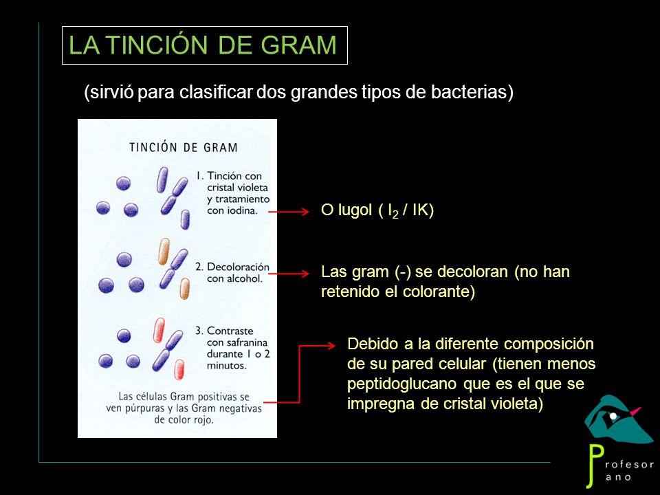 LA TINCIÓN DE GRAM(sirvió para clasificar dos grandes tipos de bacterias) O lugol ( I2 / IK)