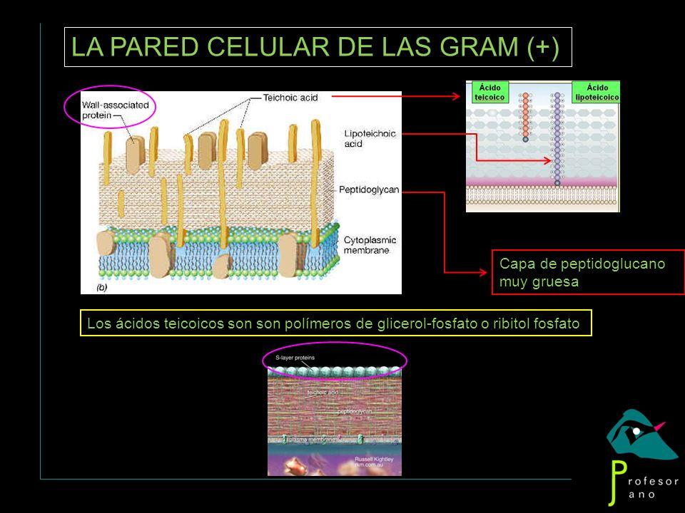 LA PARED CELULAR DE LAS GRAM (+)