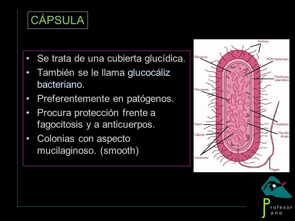 CÁPSULA Se trata de una cubierta glucídica.