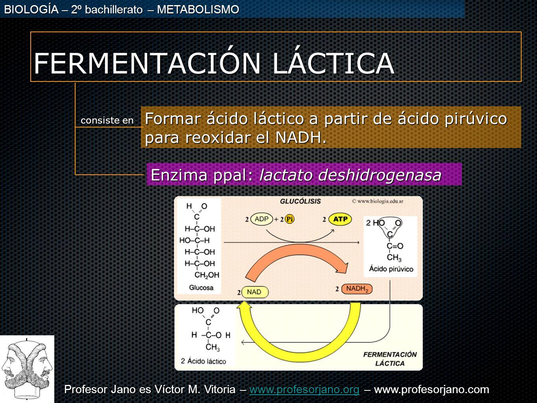 FERMENTACIÓN LÁCTICA Formar ácido láctico a partir de ácido pirúvico para reoxidar el NADH. consiste en.