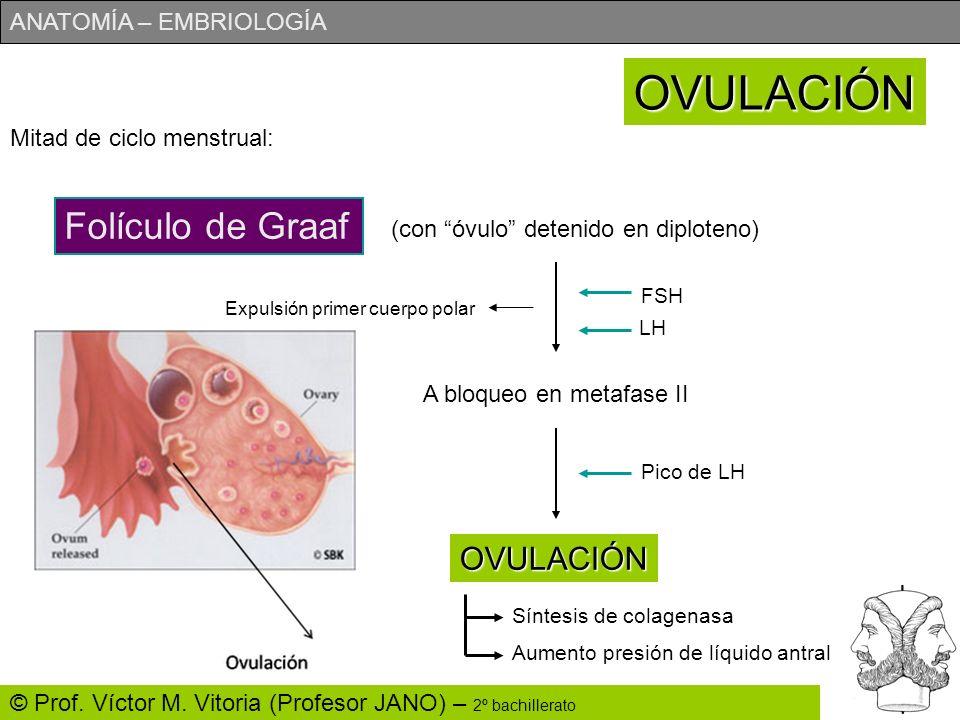 OVULACIÓN Folículo de Graaf OVULACIÓN Mitad de ciclo menstrual: