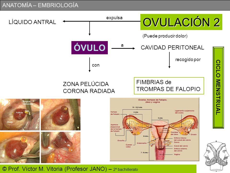 OVULACIÓN 2 ÓVULO LÍQUIDO ANTRAL CAVIDAD PERITONEAL CICLO MENSTRUAL