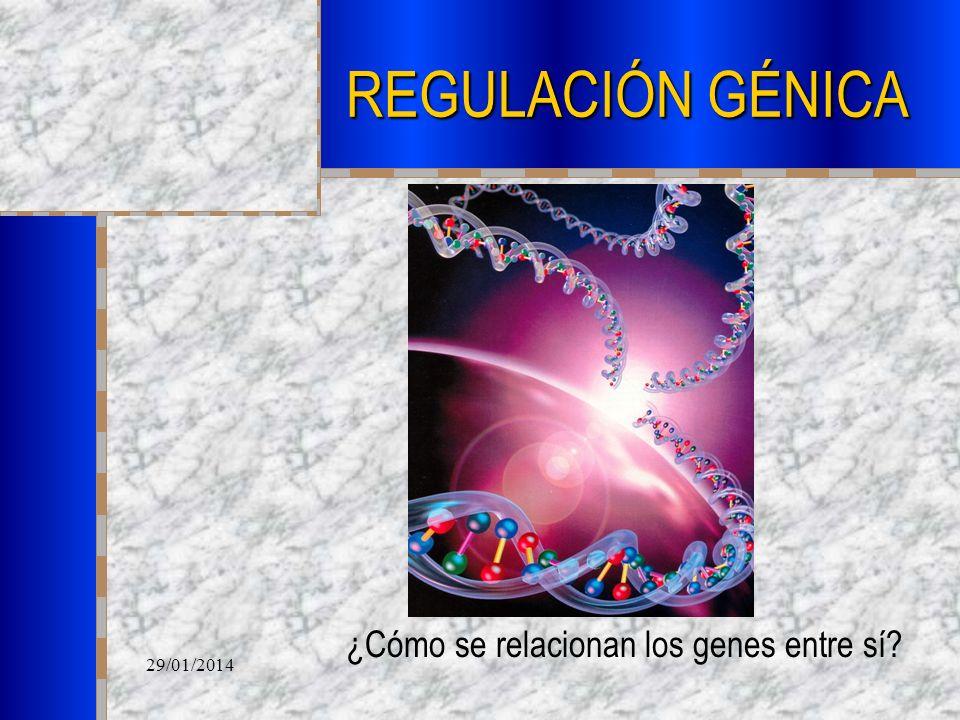 ¿Cómo se relacionan los genes entre sí