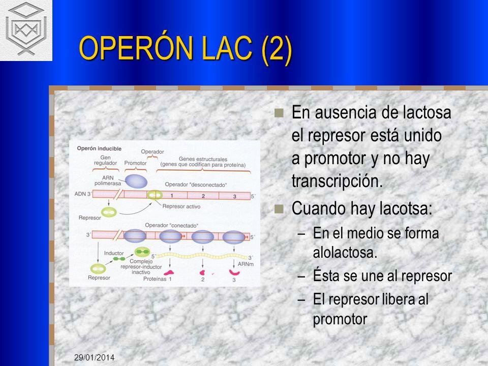 OPERÓN LAC (2) En ausencia de lactosa el represor está unido a promotor y no hay transcripción. Cuando hay lacotsa: