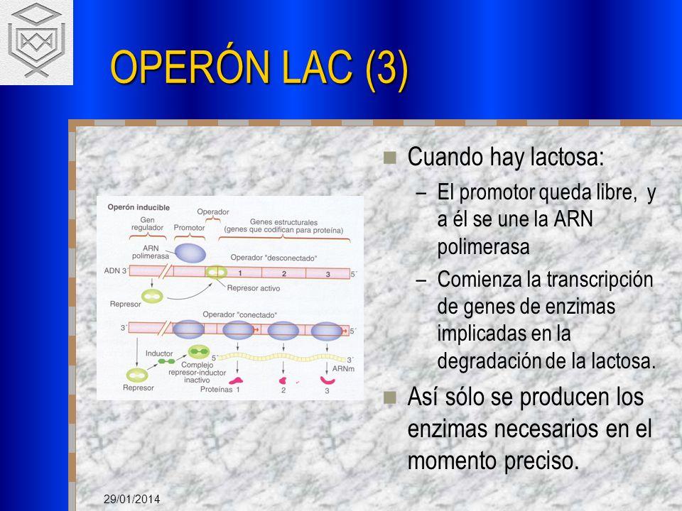 OPERÓN LAC (3) Cuando hay lactosa: