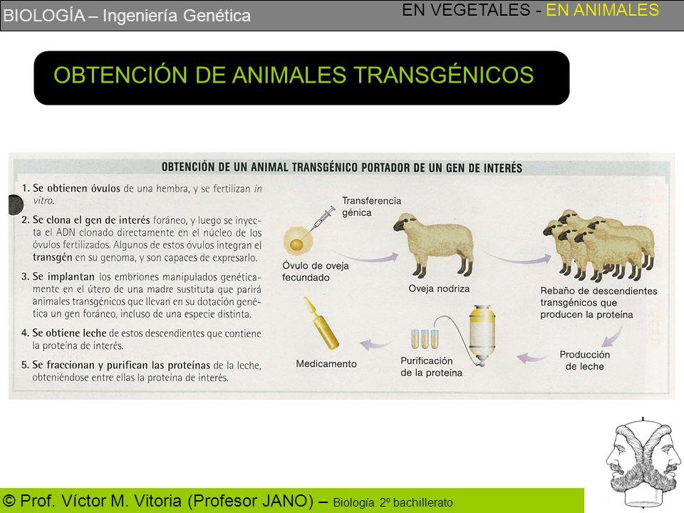 OBTENCIÓN DE ANIMALES TRANSGÉNICOS