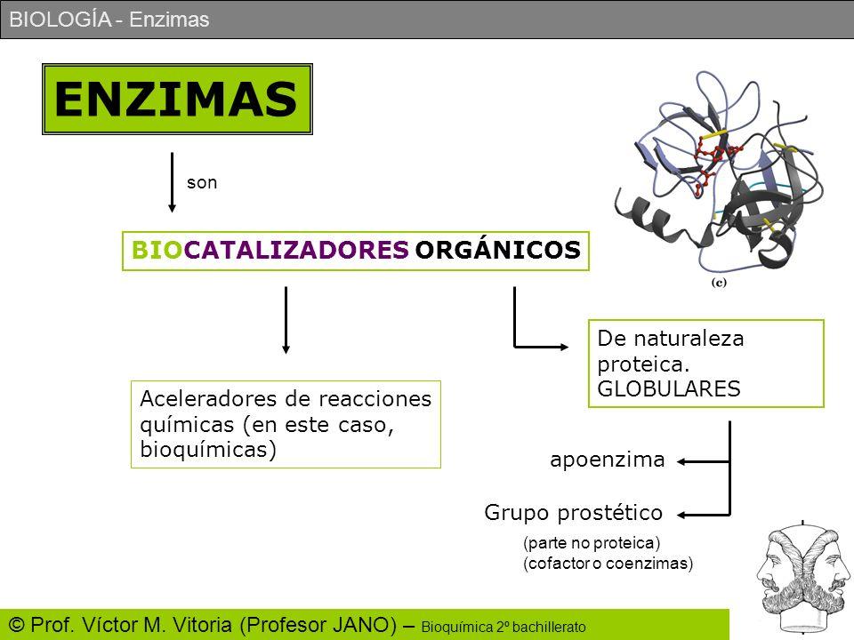 ENZIMAS BIOCATALIZADORES ORGÁNICOS De naturaleza proteica. GLOBULARES
