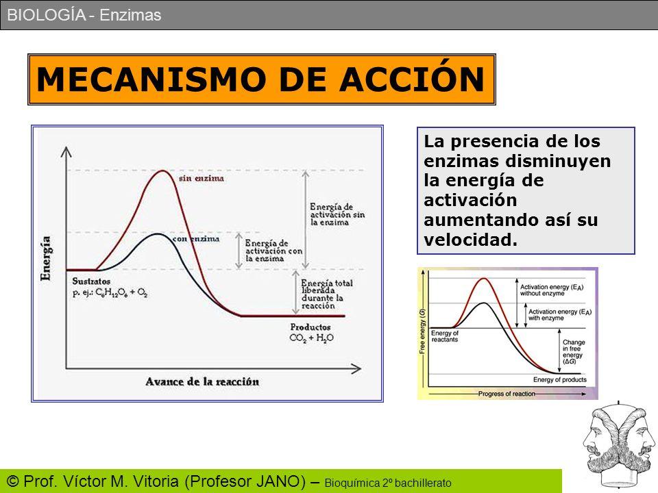 MECANISMO DE ACCIÓN La presencia de los enzimas disminuyen la energía de activación aumentando así su velocidad.
