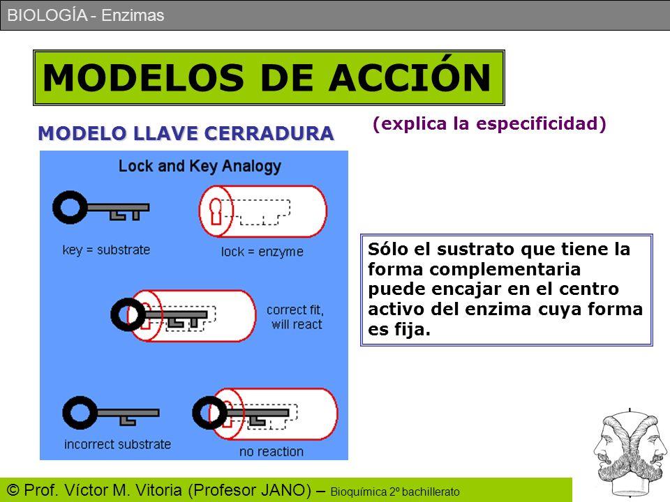 MODELOS DE ACCIÓN MODELO LLAVE CERRADURA (explica la especificidad)