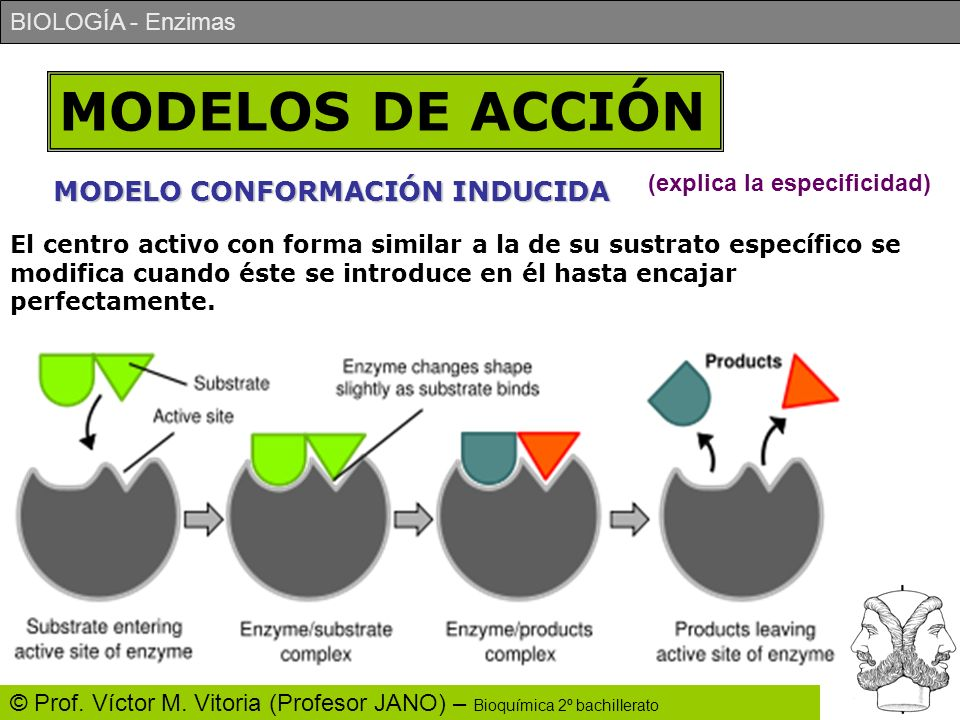 MODELOS DE ACCIÓN MODELO CONFORMACIÓN INDUCIDA