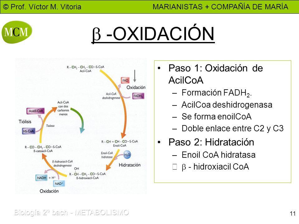 b -OXIDACIÓN Paso 1: Oxidación de AcilCoA Paso 2: Hidratación