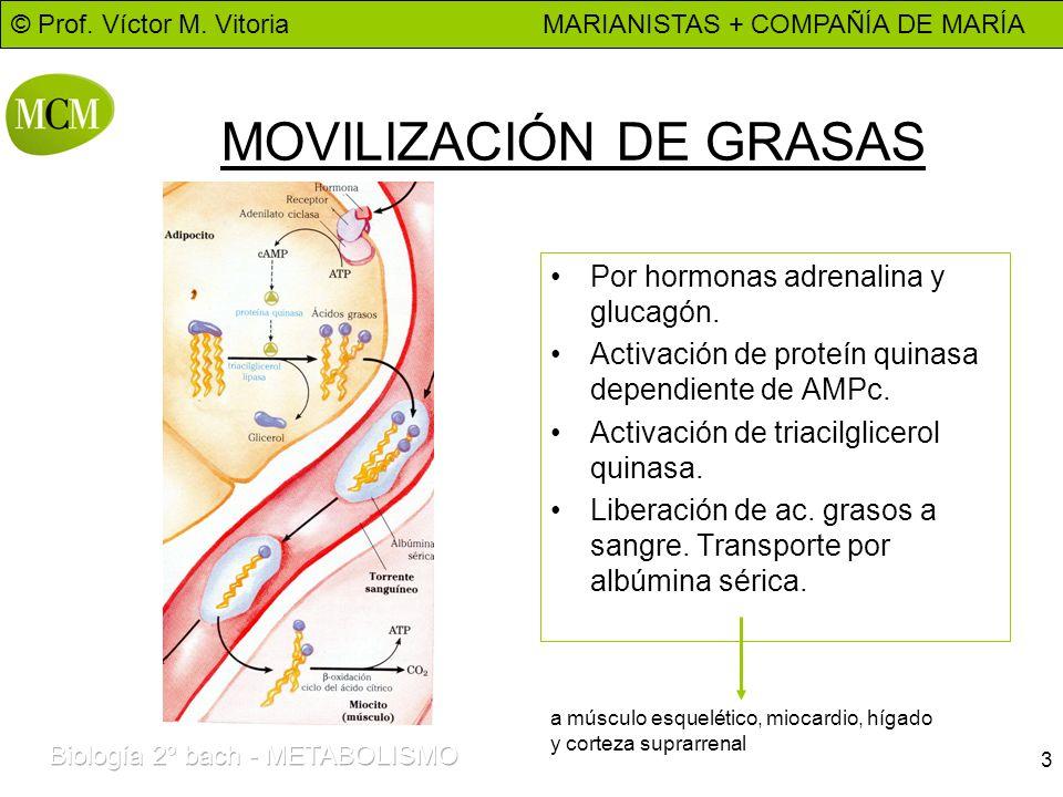 MOVILIZACIÓN DE GRASAS