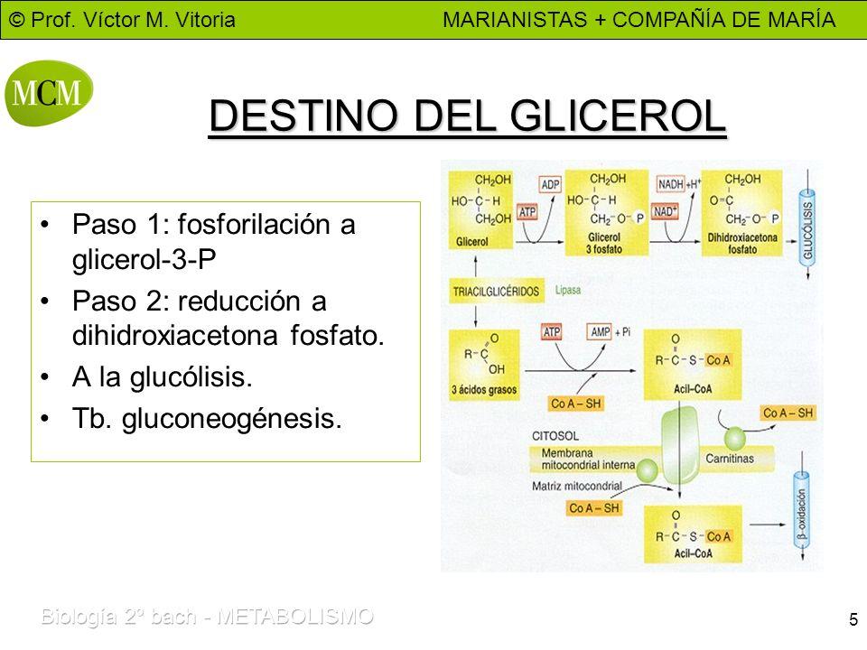 DESTINO DEL GLICEROL Paso 1: fosforilación a glicerol-3-P