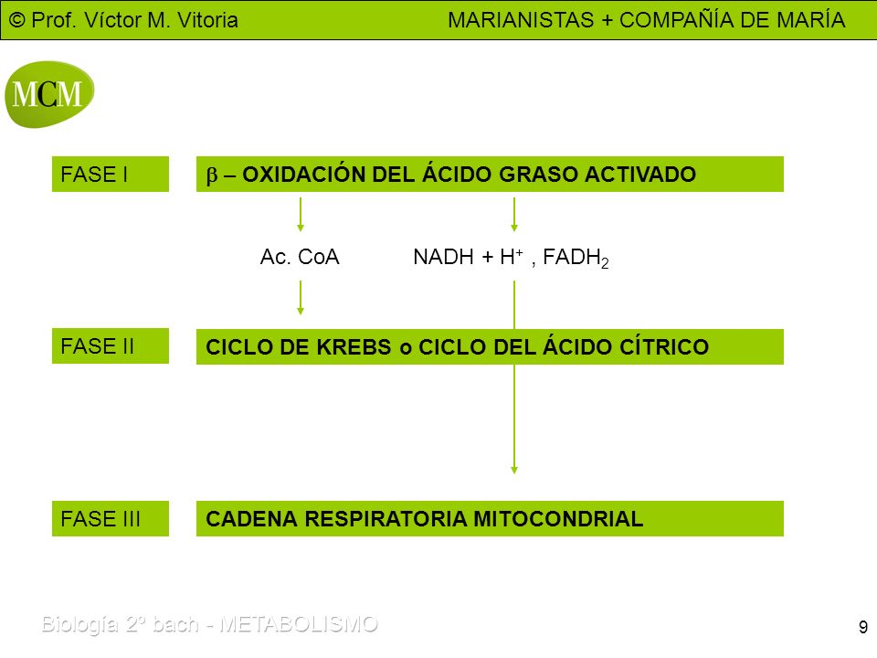 FASE I b – OXIDACIÓN DEL ÁCIDO GRASO ACTIVADO. Ac. CoA. NADH + H+ , FADH2. FASE II. CICLO DE KREBS o CICLO DEL ÁCIDO CÍTRICO.